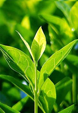 Botanical Extracts - Herbal Extracts Exporter in India